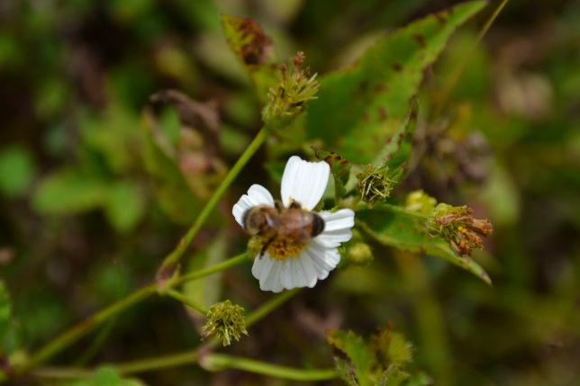 Bee in flower 4 cropped